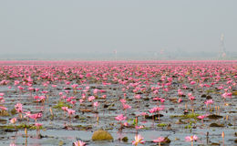 Sea of pink lotus Stock Photography