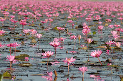 Sea of pink lotus Royalty Free Stock Photo