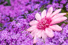 Sea of pink petals with a imitation flower Royalty Free Stock Photos