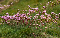 Sea Pinks. Thrift or Sea Pink(Armeria maritima) on windy Portland Bill,Dorset,UK Stock Photos