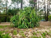 Sea plant, Screw pine Stock Photography