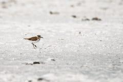 Sea Plover Charadrius alexandrinus walks along the beach of the salt lake Royalty Free Stock Photography