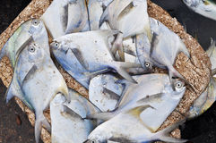 Sea pomfret Stock Photography