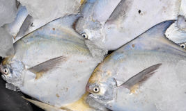Sea pomfret Stock Images