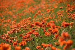 Sea of poppies Royalty Free Stock Photo