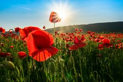 Sea of poppy flower in mountains at sunset. Beautiful springtime nature scenery royalty free stock image