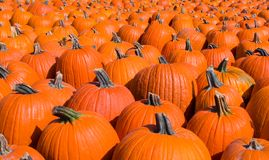 Sea of pumpkins Royalty Free Stock Image