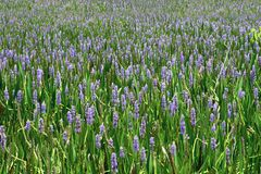 Sea Of Purple. A sea of purple flowers stretching to the horizon Royalty Free Stock Photos