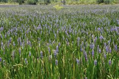 Sea Of Purple 2. A sea of purple flowers stretching to the horizon Royalty Free Stock Photography