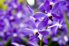 Sea of purple Royalty Free Stock Photography