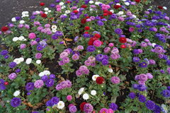 Sea of purple, red, white and purple asters Royalty Free Stock Photo