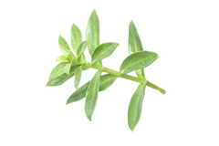Sea purslane stock images