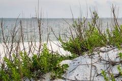 Sea Purslane-Sesuvium portulacastrum along beach shoreline. Gulf of Mexico beach in Florida panhandle region. Sea Purslane Sesuvium portulacastrum on sandy white royalty free stock photography