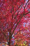 Sea of Red. Photo of autumnal red leafed maple tree in the Catoctin forest of northern Maryland Stock Photos