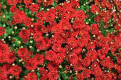 Sea of red flowers Stock Images