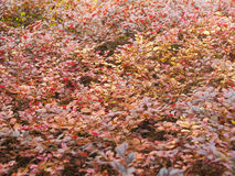 A Sea of Red Leafs Stock Photos