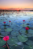 The sea of red lotus, Lake Nong Harn, Udon Thani, Thailand royalty free stock image