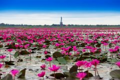 Sea of red lotus royalty free stock images