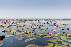 Sea of red lotus in Udon Thani, Thailand. In Northeast Thailand, we came across an otherworldly attraction that combined the beauty of a tropical flower garden Royalty Free Stock Images