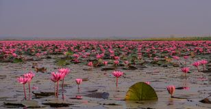 Sea of red lotuses in Thailand stock photography