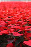 Sea of Red - Portrait Orientation. Beautiful sea of Red Poinsettia flowers - just in time for the holidays - portrait orientation royalty free stock photos