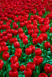 Sea of red tulips Stock Photography