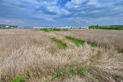 Sea of reed covering the pool remains from the Someseni Baths near Cluj Royalty Free Stock Photo