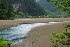 Sea of reeds in Jiuzhaigou Valley in china. In China Sichuan province Jiuzhaigou Valley. Vast of reed spread with blue river Royalty Free Stock Photo