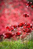 A sea of remembrance poppies Stock Photo