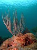 Sea Rod Coral Stock Image
