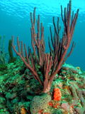 Sea Rod Coral Royalty Free Stock Image