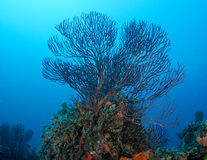 Sea Rod Reef Composition. Royalty Free Stock Photos