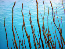 Sea Rod soft coral. A sea rod soft coral grows high up towards the sunlight and filters the nutrients brought along in the current by growing across the flow of Royalty Free Stock Photo