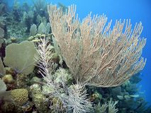 Sea rod w/ sea fan Stock Photography