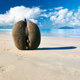 Sea's coconuts (coco de mer) on beach at Seychelles Royalty Free Stock Images