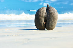 Sea's coconuts (coco de mer) on beach at Seychelles Royalty Free Stock Photography