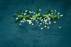 Sea salt scented herb rosemary. Stock Photo