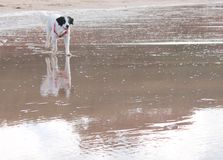 Sea sand and dog reflection Royalty Free Stock Photo