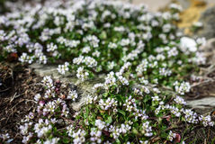 Sea Sandwort Royalty Free Stock Photo