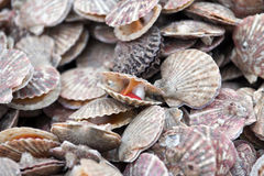 Sea scallop. Background from fresh sea scallop Royalty Free Stock Image