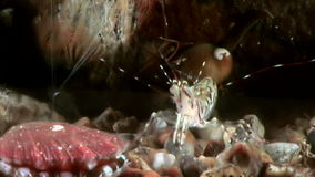 Sea scallop close up underwater on seabed. Unique amazing beautiful exotic macro video. Marine life on background of pure clear clean water stock video footage