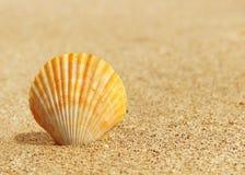 Sea scallops shell on a beach Stock Photos