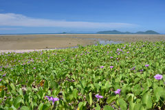 Sea scape. Clean clear blue sky with the beach Ipomoea pes-caprae Sweet foreground stock photo