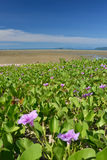 Sea scape. Clean clear blue sky with the beach Ipomoea pes-caprae Sweet foreground stock images