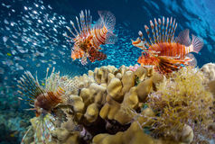 Sea. School of lion fish swimming over coral reef and watching their prey - school of tiny fish. Red Sea. Egypt Stock Photo