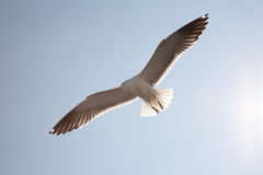 Sea seagull Royalty Free Stock Photography