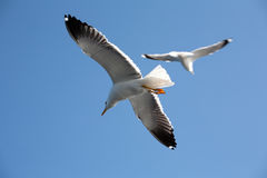 Sea seagull Stock Photography