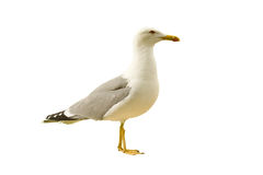 Sea seagull stock photos
