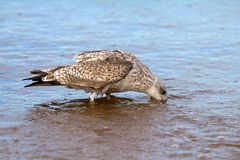 Sea seagull goes on waves Royalty Free Stock Photos