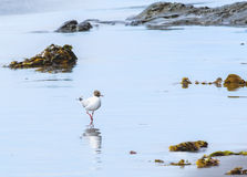 The sea seagull walks on coast of Pacific ocean Stock Images
